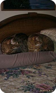 Bengal Cat for adoption in Sanford, Maine - Zenzi and Numar