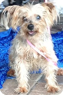 Yorkie, Yorkshire Terrier Mix Dog for adoption in Tavares, Florida - Nina