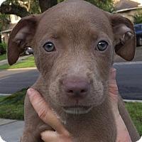 Adopt A Pet :: Angel#8F - Orlando, FL