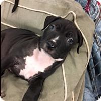 Adopt A Pet :: Bully - Jupiter, FL