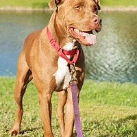 Adopt A Pet :: Rusty aka Dallas - Loxahatchee, FL