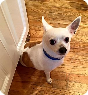 Chihuahua Mix Dog for adoption in Hazlet, New Jersey - Poppi