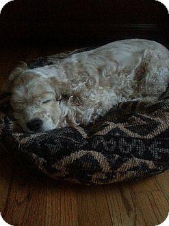 Cocker Spaniel Dog for adoption in Gainesville, Georgia - cocoa