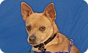 Dachshund/Chihuahua Mix Dog for adoption in San Francisco, California - Franky