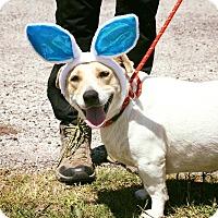 Adopt A Pet :: Clementine - Norwalk, CT