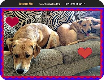 Retriever (Unknown Type) Mix Dog for adoption in Scottsdale, Arizona - Cubby N Lilly