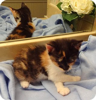 Calico Kitten for adoption in Bentonville, Arkansas - Katie