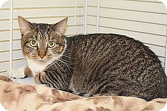 Domestic Shorthair Cat for adoption in Lincoln, Nebraska - Abby