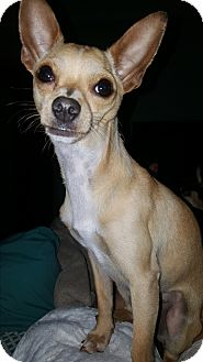 Chihuahua Dog for adoption in North Little Rock, Arkansas - Stitch