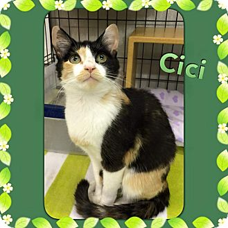 Calico Cat for adoption in Atco, New Jersey - Cici