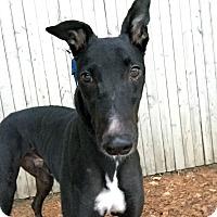 Adopt A Pet :: Blast - Swanzey, NH