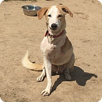 Adopt A Pet :: Gagan-Three legged IN Dog - Monroe, NJ