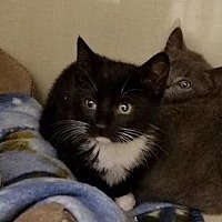 Domestic Shorthair Kitten for adoption in Westbury, New York - Bonnie 2
