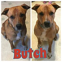 Adopt A Pet :: Butch - WESTMINSTER, MD