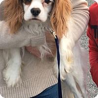 Adopt A Pet :: Finn - Albemarle, NC