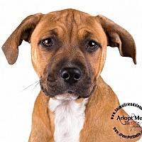 Adopt A Pet :: Tesla - Lodi, CA