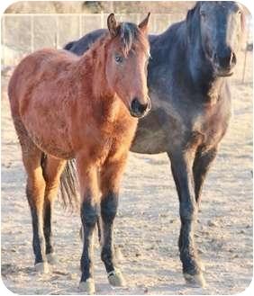 Quarterhorse for adoption in Blackfoot, Idaho - Snickers