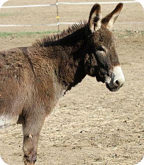 Donkey/Mule/Burro/Hinny Mix for adoption in Malvern, Iowa - Casey