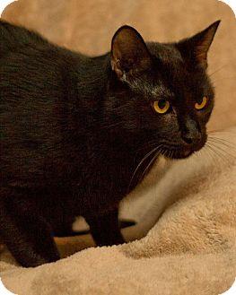 American Shorthair Cat for adoption in San Antonio, Texas - Boo
