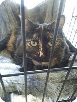 Calico Cat for adoption in Huntington Station, New York - GWYNETH