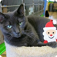 Domestic Shorthair Cat for adoption in Northbrook, Illinois - Ashah