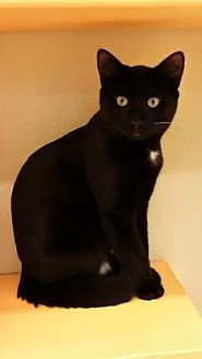 Domestic Shorthair Kitten for adoption in Westbury, New York - Chocolate
