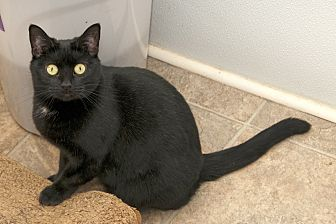 Domestic Shorthair Cat for adoption in Waynesville, North Carolina - Maddie