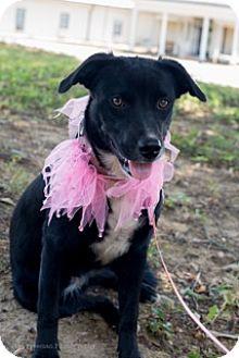 Border Collie Mix Dog for adoption in Muldrow, Oklahoma - Kandy