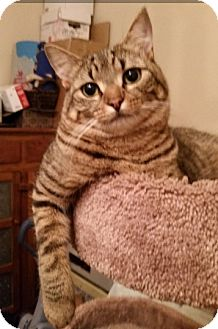 Domestic Shorthair Cat for adoption in Devon, Pennsylvania - Biscuit