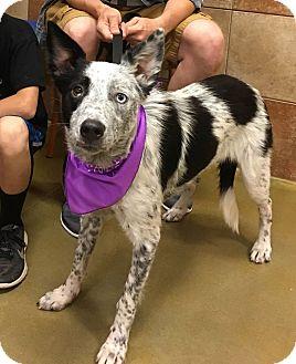 Australian Shepherd/Australian Cattle Dog Mix Dog for adoption in Manhattan, Kansas - Doobie