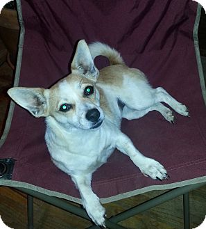 Jack Russell Terrier/Chihuahua Mix Dog for adoption in Silver Spring, Maryland - Janie