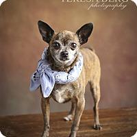 Adopt A Pet :: Sawyer - McKinney, TX