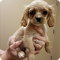Adopt A Pet :: Reese's Pieces - Fairview Heights, IL