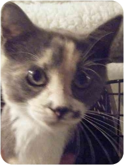 Domestic Shorthair Cat for adoption in Kensington, Maryland - Mo