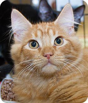 Domestic Longhair Kitten for adoption in Irvine, California - Gum Drop