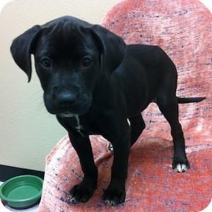 Labrador Retriever Mix Puppy for adoption in Gilbert, Arizona - Lavoix
