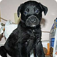 Adopt A Pet :: Chrissy - Westfield, IN
