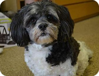 Lhasa Apso Mix Dog for adoption in Houston, Texas - Britches Jefferson