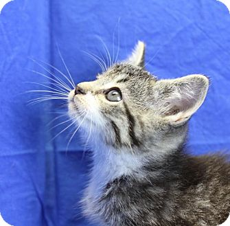 Domestic Shorthair Kitten for adoption in Winston-Salem, North Carolina - Leafa