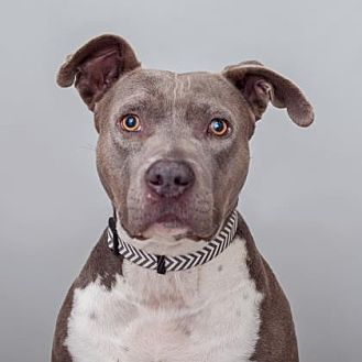 American Staffordshire Terrier Mix Dog for adoption in Mission Hills, California - Mimi