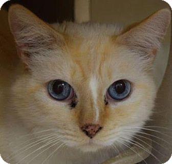 Siamese Cat for adoption in Denver, Colorado - Butter