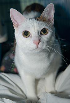 Domestic Shorthair Cat for adoption in New York, New York - Frances