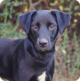 Labrador Retriever/Whippet Mix Dog for adoption in Westport, Connecticut - *Heidi - PENDING