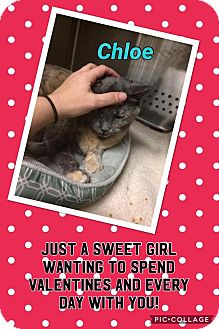 Domestic Shorthair Cat for adoption in Keller, Texas - Chloe