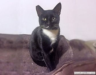 Domestic Shorthair Cat for adoption in Westchester, California - Zoey