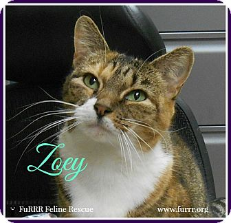 Domestic Shorthair Cat for adoption in Gonic, New Hampshire - Zoey