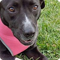 Adopt A Pet :: SHASTA - Sherman, CT