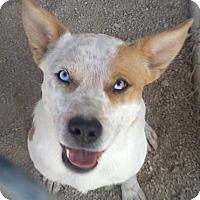 Adopt A Pet :: Dice - Las Vegas, NV