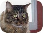 Maine Coon Cat for adoption in Columbus, Ohio - JoJo