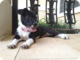 Jack Russell Terrier/Chihuahua Mix Puppy for adoption in Russellville, Kentucky - Tinker